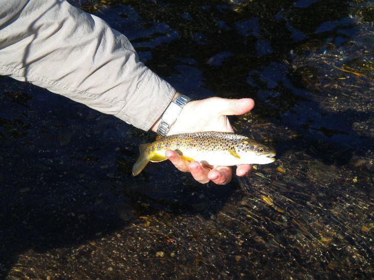 Brown Trout caught in Meadow